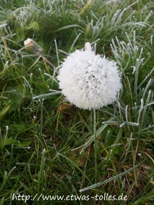 Winterimpressionen eingefrorene Pusteblume